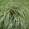Carex morrowi variegata