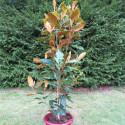 Magnolia little gem 15 l