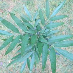 Mahonia fortunei