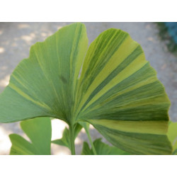 Online sale of Ginkgo, Gingko on A l'ombre des figuiers