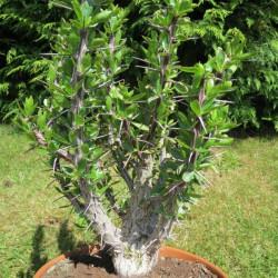 Online sale of Fouquieriaceae on A l'ombre des figuiers