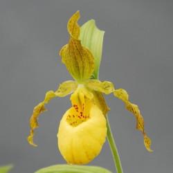 Hardy garden orchids