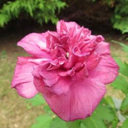 Hibiscus arbustifs