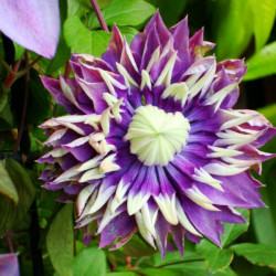 Online sale of Clematis on A l'ombre des figuiers
