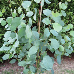 Online sale of eucalyptus on A l'ombre des figuiers
