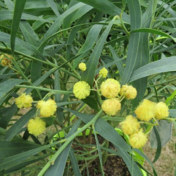 Online sale of mimosa, acacia on A l'ombre des figuiers