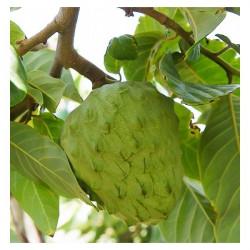 Vente en ligne d'arbres à fruits tropicaux comestibles