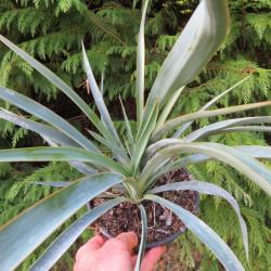 Yuccas hybrides