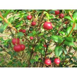 Vente en ligne de myrtes à fruits comestibles