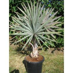 Palmiers tropicaux
