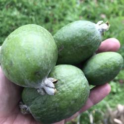 Vente en ligne de feijoa, Acca sellowiana, goyavier du Brésil