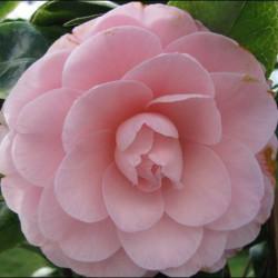 A l'ombre des figuiers - Camellia