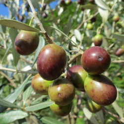 Online sale of Olea (olive trees) on A l'ombre des figuiers