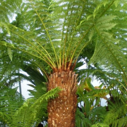 Online sale of tree ferns on A l'ombre des figuiers