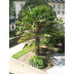 Easy palms for northern areas