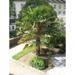 Palmiers faciles pour le Nord