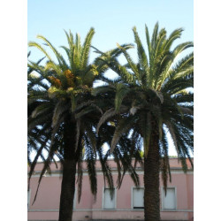 Easy palms for southern areas