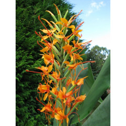 Online sale of Hedychium (ginger lily, garland flower) ) on A l'ombre des figuiers