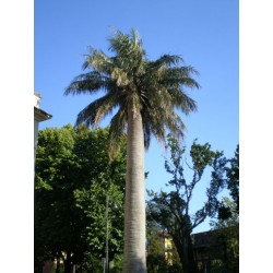 Online sale of Hardy palms on A l'ombre des figuiers