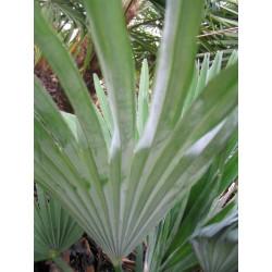 Palmiers pour collectionneurs