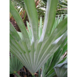 Online sale of palms for enthusiasts on A l'ombre des figuiers