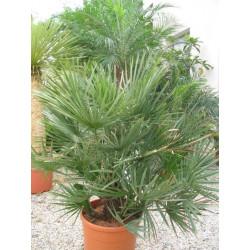 Hybrid palms