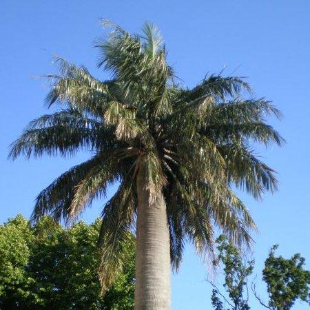 achat vente palmiers vente en ligne de palmiers. Black Bedroom Furniture Sets. Home Design Ideas